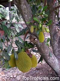 Artocarpus heterophyllus - Jackfruit Cantaloupe, graftedClick to see full-size image