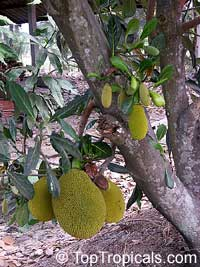 Artocarpus heterophyllus - Jackfruit Cantaloupe, grafted  Click to see full-size image