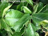 Sandoricum koetjape, Sandoricum indicum, Santol, Kechapi, Lolly Fruit  Click to see full-size image