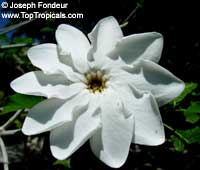 Gardenia thunbergia - seeds  Click to see full-size image