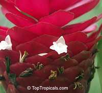 Alpinia purpurata, Red Ginger Lily, Ostrich Plume, Red Cone Ginger  Click to see full-size image