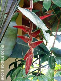 Heliconia vellerigera, Heliconia  Click to see full-size image