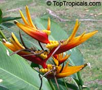 Heliconia sp., Heliconia, Lobster ClawClick to see full-size image