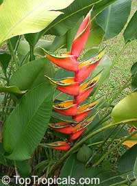 Heliconia orthotricha, Heliconia, Lobster claw