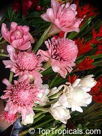 Etlingera elatior - Pink Torch Ginger  Click to see full-size image
