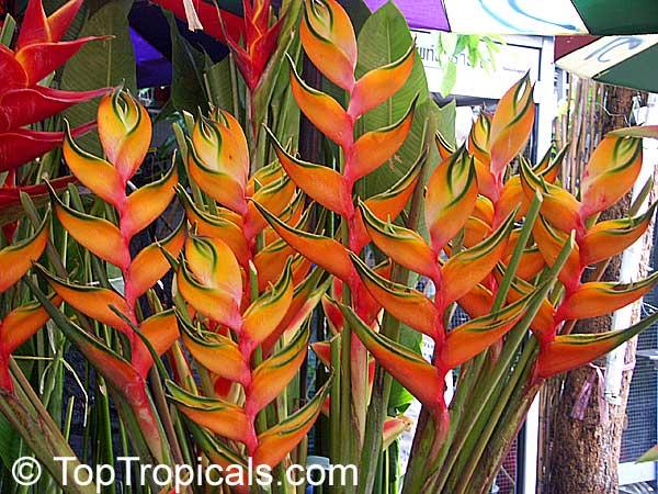 Heliconia caribaea, Lobster Claw, Parrot Beak - TopTropicals.com