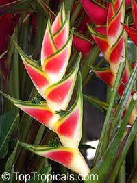 Heliconia caribaea, Lobster Claw, Parrot Beak  Click to see full-size image