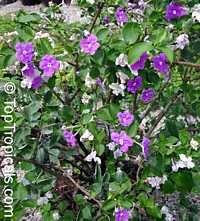 Brunfelsia australis, Brunfelsia bonodora, Brunfelsia latifolia, Yesterday-Today-and-Tomorrow  Click to see full-size image
