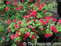 Calliandra emarginata, Inga emarginata, PowderpuffClick to see full-size image
