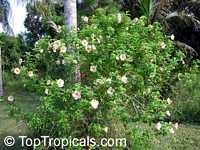 Allamanda violacea Cream, Allamanda  Click to see full-size image