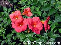 Campsis grandiflora, Bignonia grandiflora, Campsis chinensis, Chinese Trumpet Creeper  Click to see full-size image