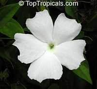 Thunbergia fragrans, Thunbergia White gem  Click to see full-size image