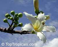 Chorisia insignis, Ceiba insignis, White Floss Silk Tree, Drunken TreeClick to see full-size image