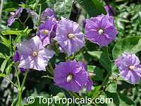 Solanum wendlandii - Costa Rican Potato vine  Click to see full-size image