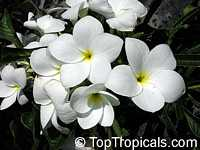 Plumeria pudica - Bridal Bouquet, 1 gal pot  Click to see full-size image