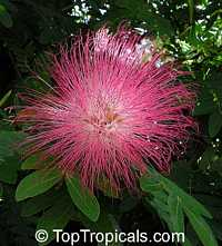 Calliandra haematocephala - Red Powderpuff  Click to see full-size image