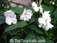 Brunfelsia lactea, Lady of the night  Click to see full-size image