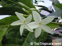 Randia sp., Gardenia Star of Africa  Click to see full-size image