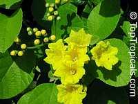Cordia lutea, Yellow Geiger, Muyuyo  Click to see full-size image