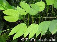 Bauhinia tarapotensis, Patevaca  Click to see full-size image