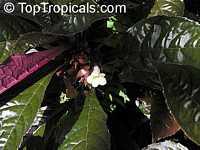 Nautilocalyx lynchii, Nautilus plant  Click to see full-size image