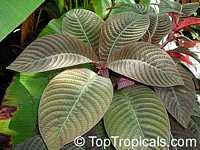 Hoffmannia ghiesbreghtii, Campylobotrys ghiesbreghtii, Taffeta Plant, Strawberry SplashClick to see full-size image