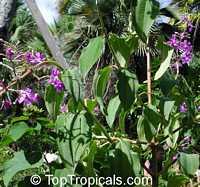 Tibouchina heteromalla, Silverleafed Princess Flower, Glory bush  Click to see full-size image