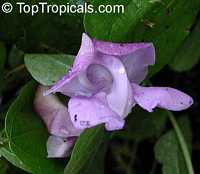 Vigna speciosa, Snail Vine  Click to see full-size image