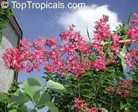Clerodendrum sahelangii, Clerodendrum indicum, Clerodendrum infortunatum, Champagne Clerodenrum, Turks Turban, Skyrocket, Clerodendron  Click to see full-size image