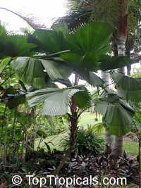 Licuala grandis, Ruffled Fan Palm  Click to see full-size image