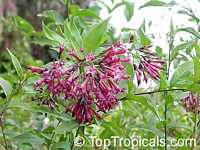 Cestrum sp., Butterfly flower, Pink cestrum