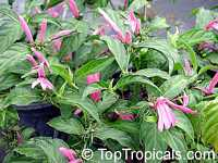 Justicia brasiliana, Dianthera nodosa, Pink Justicia  Click to see full-size image