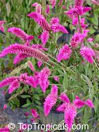 Celosia spicata - seeds  Click to see full-size image