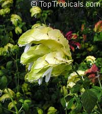 Justicia brandegeana lutea, Beloperone lutea cv. Yellow Queen, Yellow Shrimp plant  Click to see full-size image
