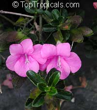 Barleria repens, Barleria galpinii, Small Bush Violet  Click to see full-size image