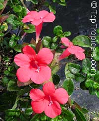 Barleria repens South Africa - Small Bush Violet, Pink Creeper  Click to see full-size image