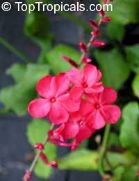 Plumbago indica, Plumbago Rosea, Rose-colored Lead-wort, Chitrakmool, Chekkikotuveri, Chitraka, Shitrapuni, Scarlett Leadwort, Whorled plantainClick to see full-size image