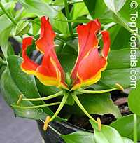 Gloriosa superba - seeds  Click to see full-size image