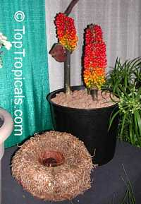 Amorphophallus sp., Voodoo lily, Devils tongue, Snake Palm, Corpse flower