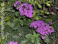 Heliotropium peruviana, Heliotropium arborescens, Turnsole, Cherry Pie  Click to see full-size image