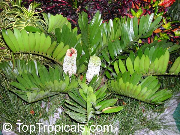Zamia Furfuracea Cycad Cardboard Palm Toptropicals Com