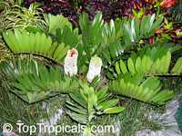 Zamia furfuracea, Cycad, Cardboard Palm  Click to see full-size image