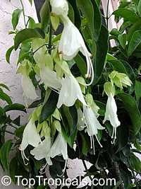 Oxera pulchella, Royal Creeper  Click to see full-size image