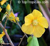Bakeridesia integerrima, Abutilon chiappardi, Abutilon chittendenii, Abutilon chitenendii, Sida integerrima, Velvetleaf, Canary Tree, Indian Mallow  Click to see full-size image