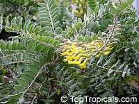 Sophora tomentosa, Yellow Necklace Pod, Silverbush  Click to see full-size image