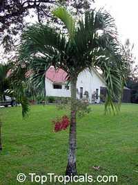 Adonidia merrillii, Veitchia merrilli, Christmas PalmClick to see full-size image