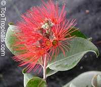Metrosideros collina, Metrosideros polymorpha, Sping fire, Ohia Lehua (Hawaii), Vuga (Fiji Islands), Anume (Samoa)  Click to see full-size image