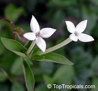 Bouvardia longiflora, Bouvardia humboldtii, Scented BouvardiaClick to see full-size image