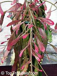 Rhipsalis ramulosa var. angustissima, Pseudorhipsalis ramulosa, Red RhipsalisClick to see full-size image
