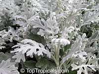 Senecio cineraria, Cineraria maritima, Jacobaea maritima, Dusty Miller, Silver Ragwort  Click to see full-size image